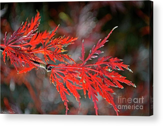 Tree Acrylic Print featuring the photograph Autumn Japanese Maple by Debbie Portwood
