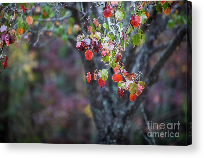 Autumn Acrylic Print featuring the photograph Autumn Red by Dale Powell