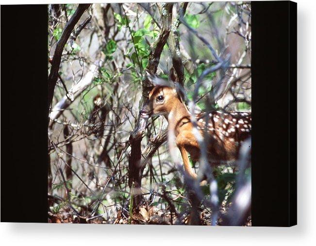 Baby Deer Acrylic Print featuring the photograph Baby Deer by Nicole Anderson