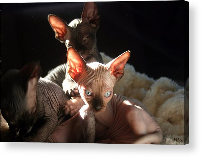 Photo Acrylic Print featuring the photograph Baby Sphynx Cats by Ruben Flanagan