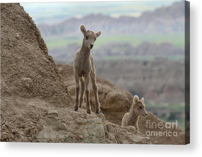 Big Horn Acrylic Print featuring the photograph Badlands Dynamic Duo by Adam Jewell