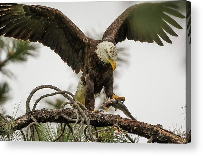 California Acrylic Print featuring the photograph Bald Eagle Picking Up Fish by Marc Crumpler