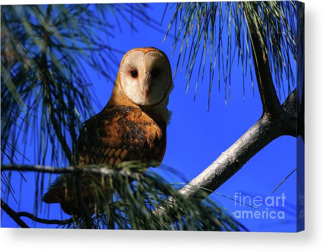 Tyto Alba Acrylic Print featuring the photograph Barn Owl Stare by Craig Corwin