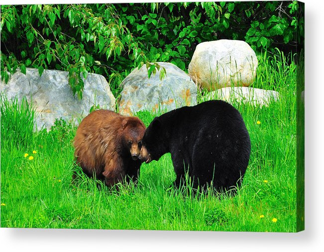 Black Bears Acrylic Print featuring the photograph Bears In Love by Dave Steers
