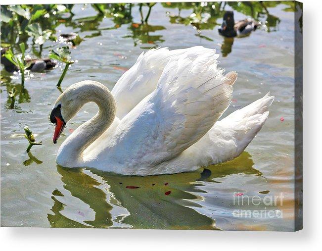 Swan Acrylic Print featuring the photograph Beautiful Swan by Carol Groenen
