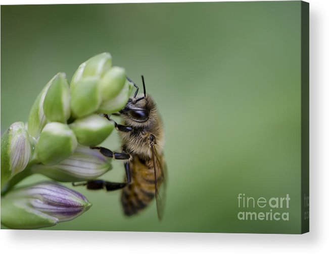 Bee Acrylic Print featuring the photograph Busy Bee by Andrea Silies