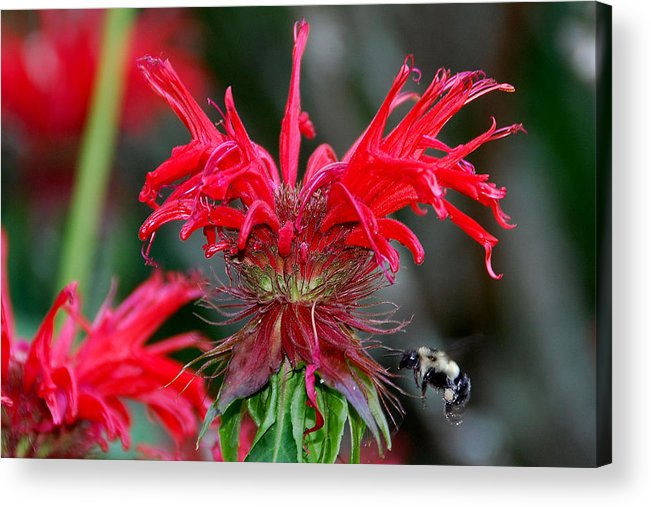 Bee Balm Acrylic Print featuring the photograph Bee Balm by Alan Lenk