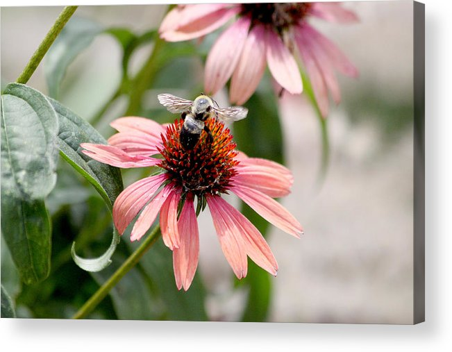 Bee Acrylic Print featuring the photograph Bee Leaving Flower by Lita Kishbaugh