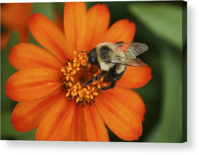 Bee Acrylic Print featuring the photograph Bee On Aster by Margie Wildblood