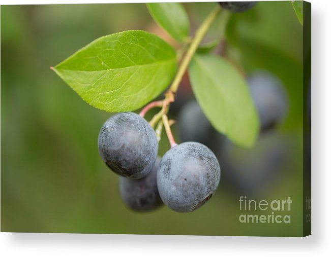 Blueberries Acrylic Print featuring the mixed media Berrydelicious by Kim Henderson