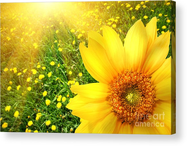 Background Acrylic Print featuring the photograph Big Yellow Sunflower by Sandra Cunningham