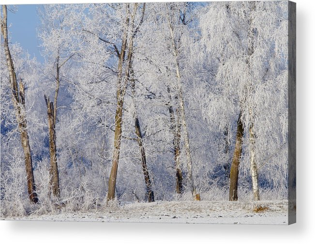 Birches Acrylic Print featuring the photograph Birches by Silke Magino