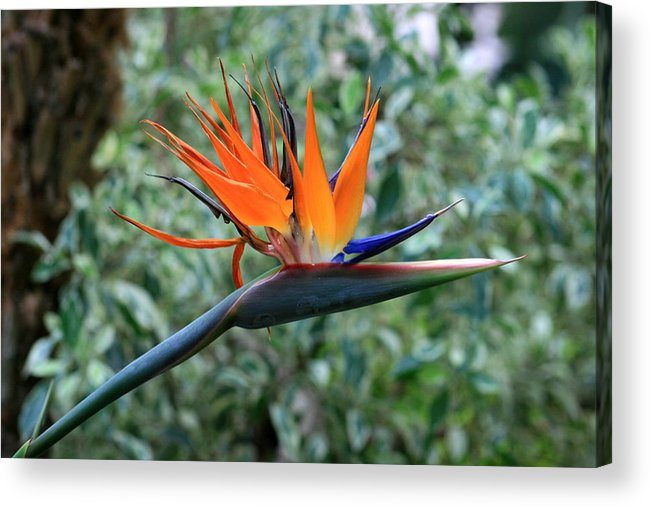Flower Acrylic Print featuring the photograph Bird Of Paradise 2 by David Dunham