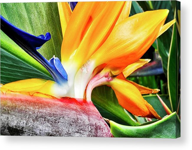 Bird Of Paradise Acrylic Print featuring the photograph Bird Of Paradise by Kirsten Giving