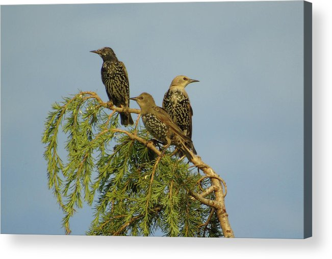 Three Acrylic Print featuring the photograph Birds-on-watch by Gordon Auld