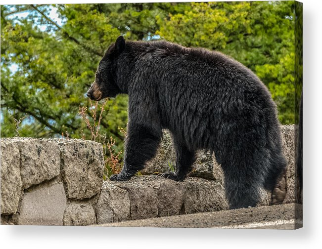 Black Bear Acrylic Print featuring the photograph Black Bear Boar Taking In The Sights by Yeates Photography