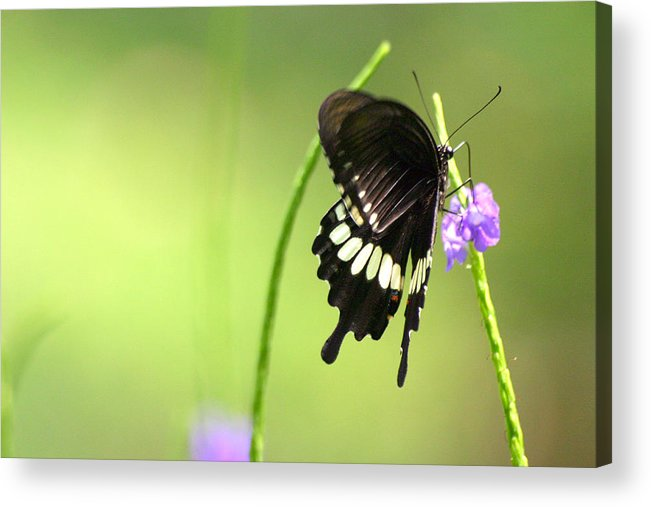 Insect Acrylic Print featuring the photograph Black Butterfly by Mark Mah