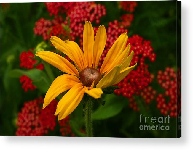 Blackeyed Susan Acrylic Print featuring the photograph Black-eyed Susan And Yarrow by Steve Augustin