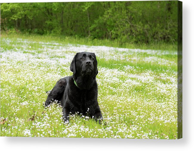 Canine Acrylic Print featuring the photograph Black Lab Laying In A Field by Steven Kornfeld