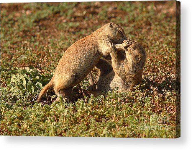 Prairie Dog Acrylic Print featuring the photograph Black-tailed Prairie Dogs Wrestling Around by Max Allen