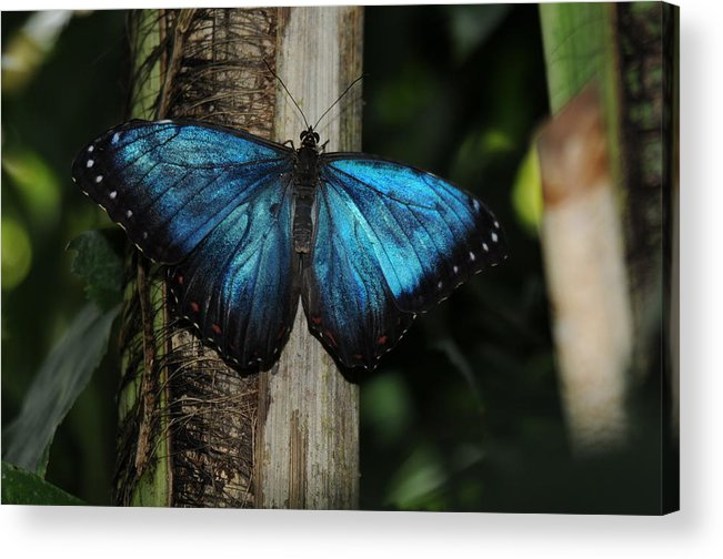 Blue Butterfly Image Print Photograph For Sale Limited Edition Acrylic Print featuring the photograph Blue Butterfly by Patrick Short