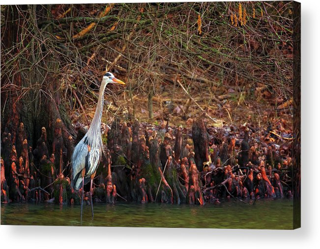 Great Blue Heron Acrylic Print featuring the photograph Blue Heron In The Cypress Knees by Susan Rissi Tregoning