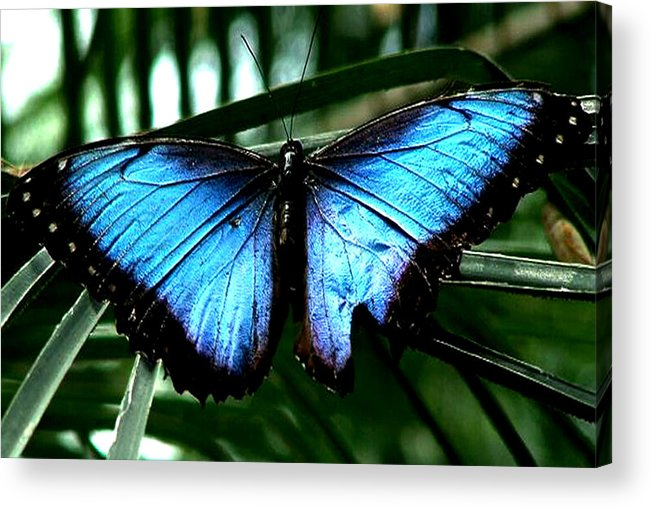 Blue Butterfly Morphm Animal Fly Flying Acrylic Print featuring the photograph Blue Morph by Diane Wallace