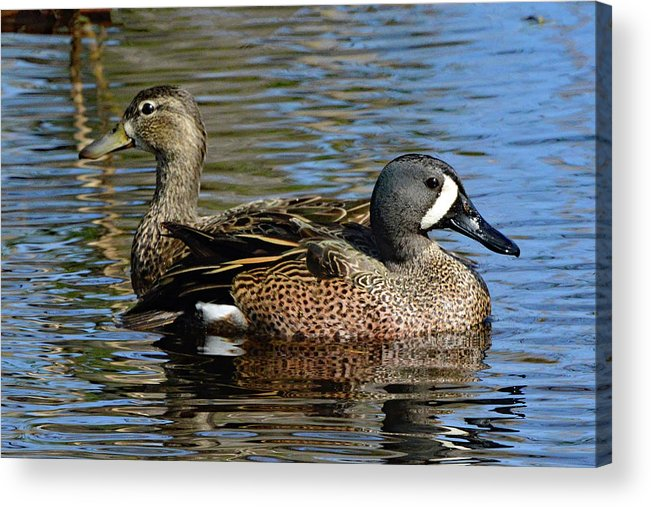 Ducks Acrylic Print featuring the photograph Blue Winged Teal Pair by Jerry Griffin
