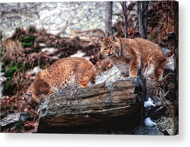 Bobcats Acrylic Print featuring the photograph Bobcats On The Loose by Brad Hoyt