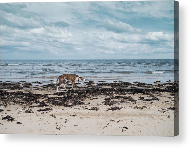 Dog Acrylic Print featuring the photograph Borzoi Dog Stalking Alnmouth Beach by Jean Gill