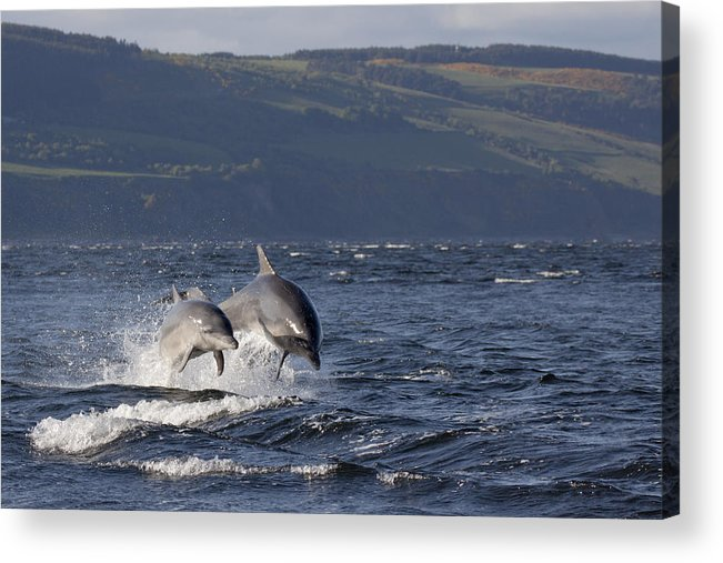 Dolphin Acrylic Print featuring the photograph Bottlenose Dolphins Leaping - Scotland #37 by Karen Van Der Zijden