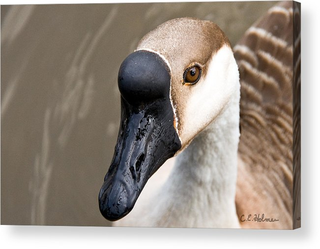 Chinese Brown Goose Acrylic Print featuring the photograph Brown Eye by Christopher Holmes
