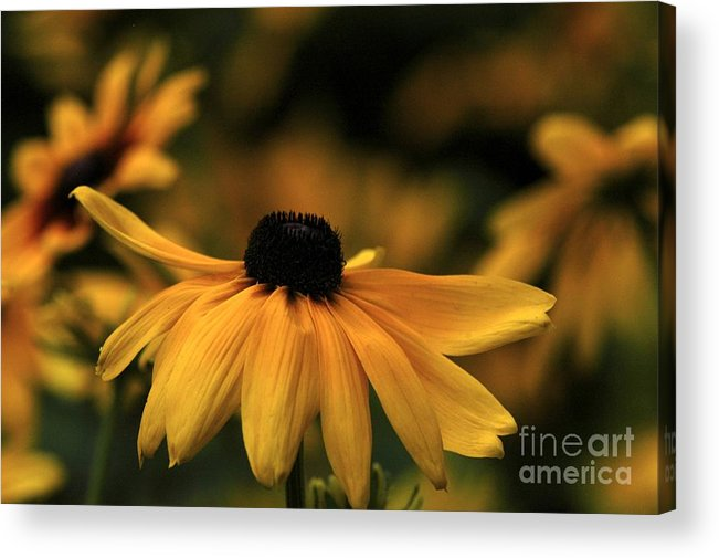 Flower Acrylic Print featuring the photograph Brown Eyed Susan by Dot Lestar