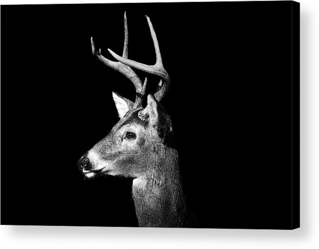 Horizontal Acrylic Print featuring the photograph Buck In Black And White by Malcolm MacGregor