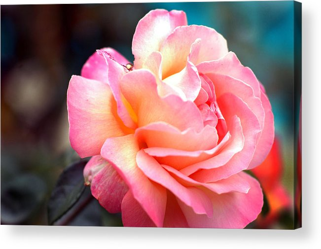 Flowers Acrylic Print featuring the photograph Buffum Rose by Norman Andrus