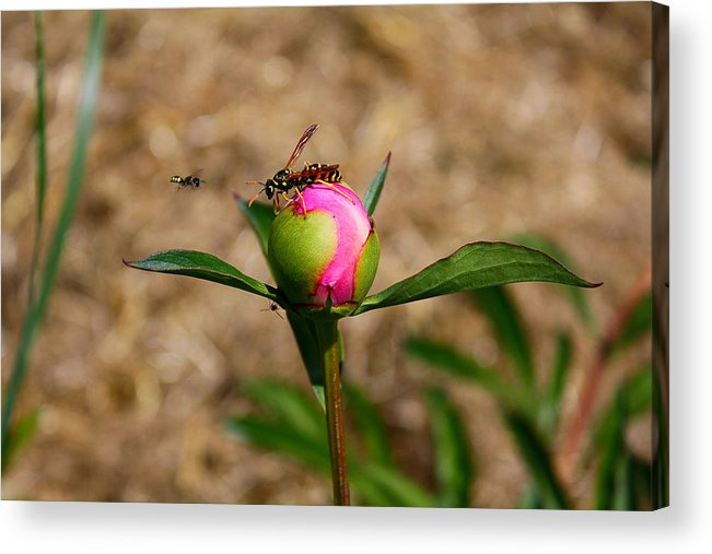 Peony Acrylic Print featuring the photograph Bugs Wanting The Same Flower by Goldie Pierce