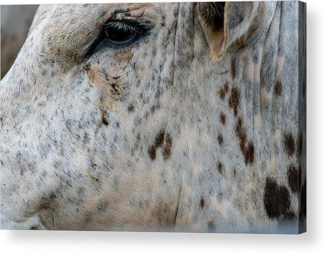 Horse Acrylic Print featuring the photograph Bullseye by Glenn Matthews