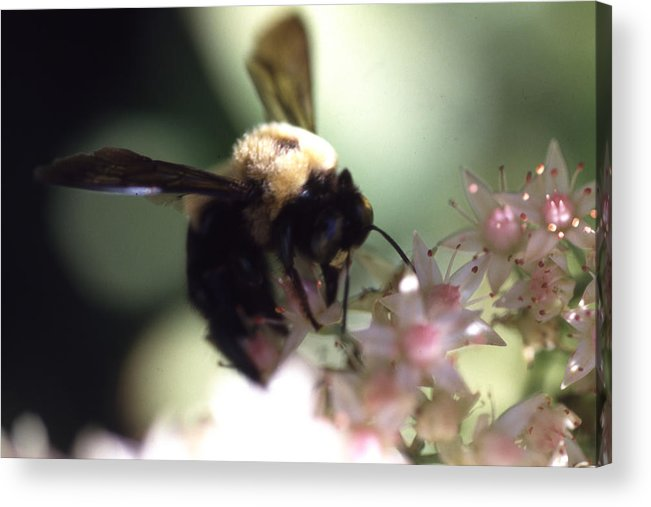 Acrylic Print featuring the photograph Bumblbee Bzzz by Curtis J Neeley Jr