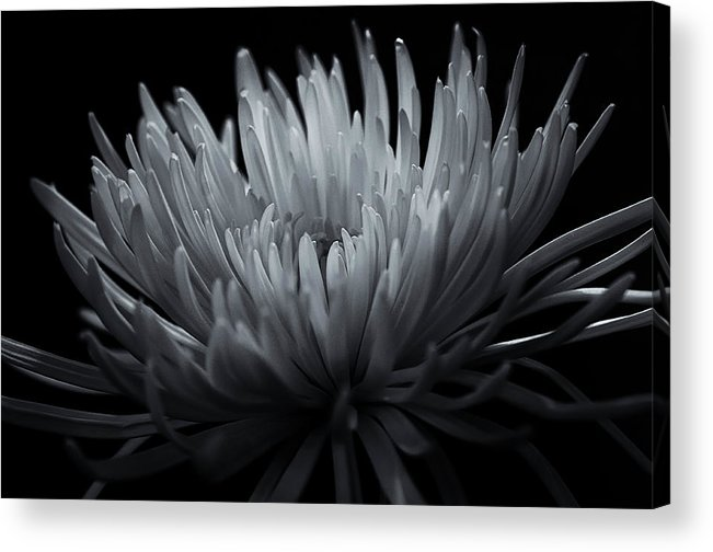 Black And White Photos Acrylic Print featuring the photograph Burst by Sheryl Thomas