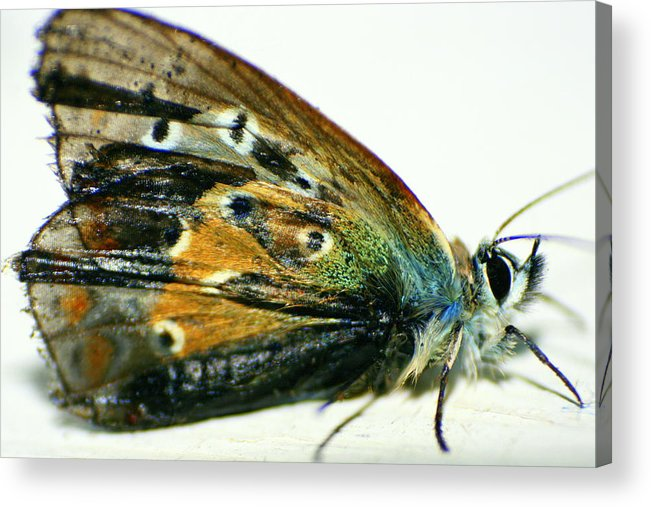 Fly Acrylic Print featuring the photograph Butter-moth by Stevie Smudge