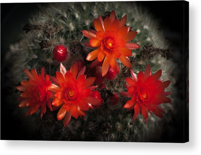 Cactus Acrylic Print featuring the photograph Cactus Red Flowers by Catherine Lau