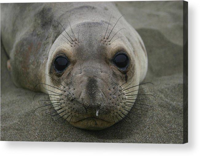 Sea Lion Acrylic Print featuring the photograph California Sea Lion by Hans Jankowski