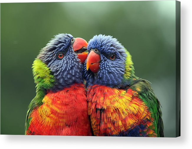 Rainbow Lorikeets Acrylic Print featuring the photograph Canoodling In The Rain by Lesley Smitheringale