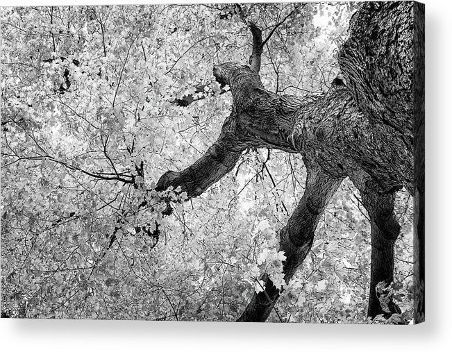 Abstract Acrylic Print featuring the photograph Canopy Of Autumn Leaves In Black And White by Tom Mc Nemar