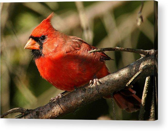 Cardinal Acrylic Print featuring the photograph Cardinal Up Close by Alan Lenk