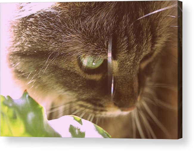 Cat Acrylic Print featuring the photograph Cat In Sunlight by Samiksa Art
