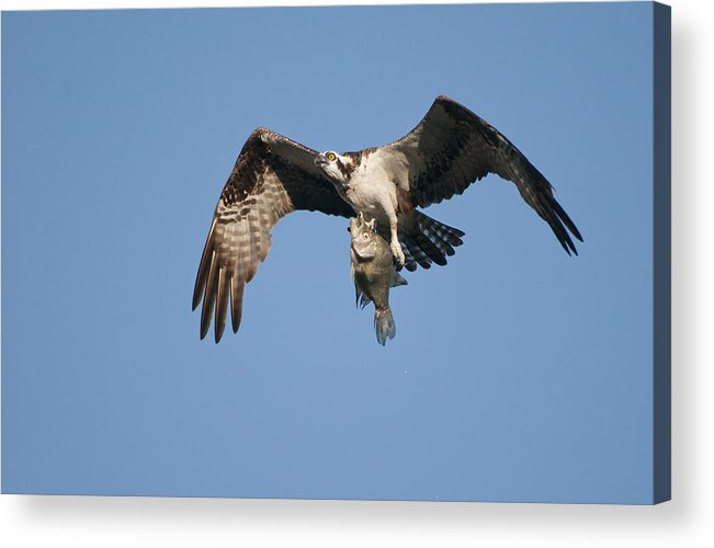 Osprey Acrylic Print featuring the photograph Catch Of The Day by Cory Bucher