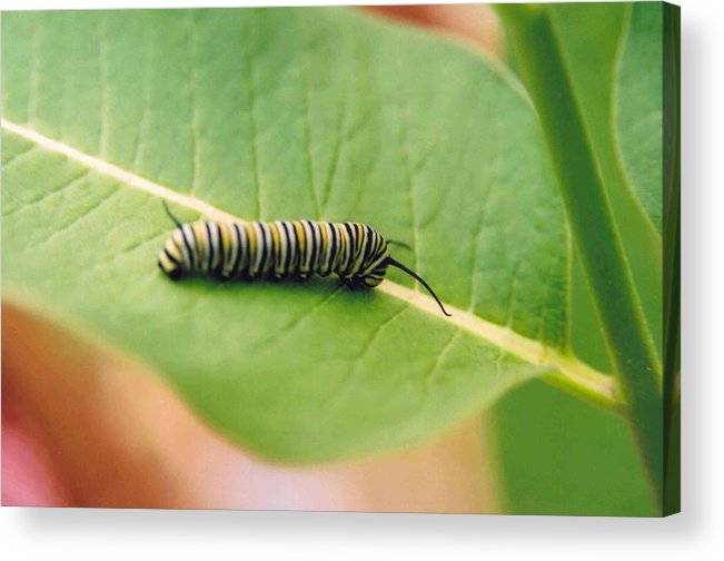 Caterpillar Acrylic Print featuring the photograph Caterpillar by Kathy Schumann