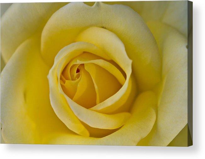 Rose Acrylic Print featuring the photograph Centered Beautiful Yellow Rose by Dina Calvarese