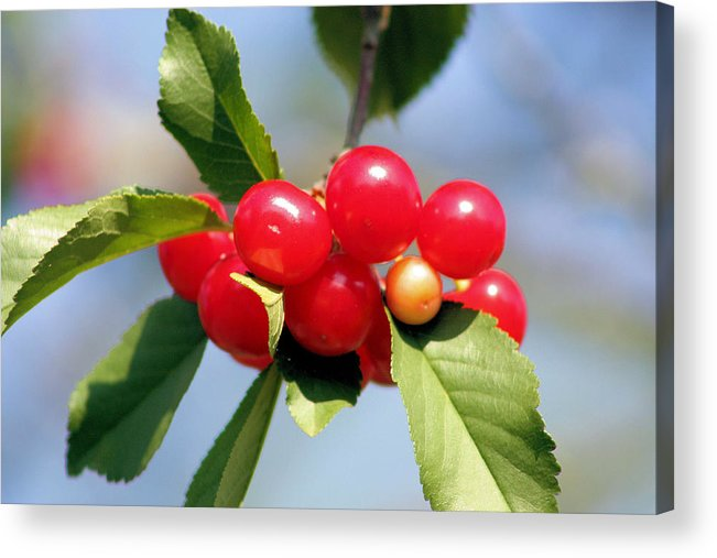 Cherry Acrylic Print featuring the photograph Cheery Cherries by Kristin Elmquist